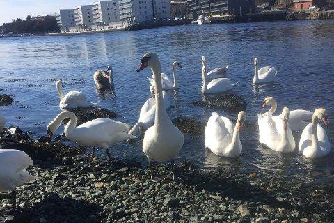 Det har strømmet svaner til Os havn etter at «Havnesjefen» har forlatt området.