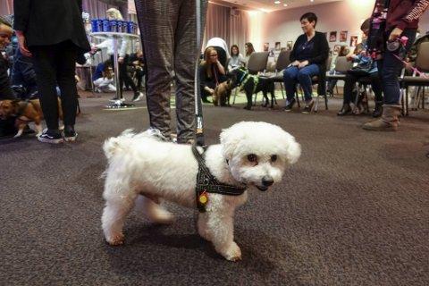 Bichon Frizé-hunden Efez storkoste seg på Flesland nyttårsaften 2019. Også i år samles et hundretalls rakett-skvetne dyr på flyplasshotellet. Men deltakerne må holde større avstand.