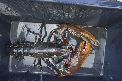Ulovlig hummerfiske straffes hardere enn annet tjuvfiske. Fangst er kun tillatt på Vestlandet mellom 1. oktober og 30. november. Resten av året er hummeren fredet.