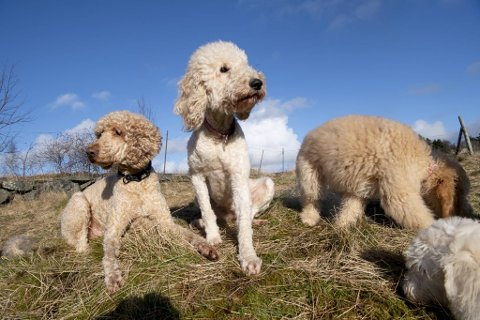 Flere annonser påstår at alle goldendoodle hunder er allergivennlige, men det er individuelt og må testes.