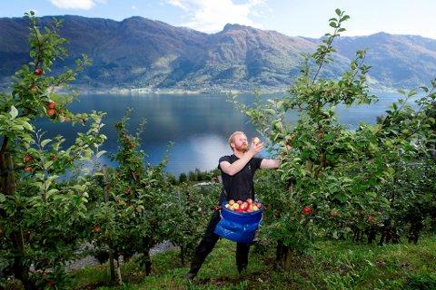 Eplehøstingen i Hardanger går mot slutten, sesongen har vært svært god. Det betyr at Olav Bleie på Alde gård                                       i Nå kommer til å produsere over 100.000 liter sider i år.