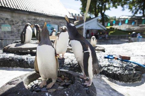 Bøylepingvinene i Akvariet i Bergen får snart leve under åpen himmel igjen, når de blir vaksinert mot fugleinfluensa.