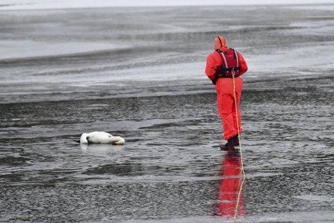 Brannkonstabelen gikk rolig ut på isen for å hente med seg svanen.