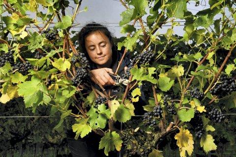 Pinot Noir er Bourgognes store drue – og de aller gjeveste vinene har fortsatt den adressen. Men de kan få til den skjøre druen andre steder også. Som i den sørlige delen i England. Her er det Georgina Crawshaw som høster områdets Pinot Noir-druer.