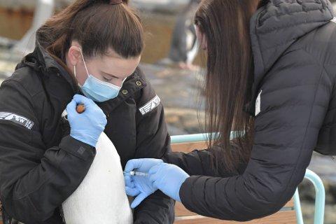 Kjendis-pingvinen «Erna» klar for å bli vaksinert.