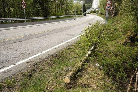 I Vestlundveien i Fyllingsdalen har noen saget ned dette bjørketreet natt til lørdag.