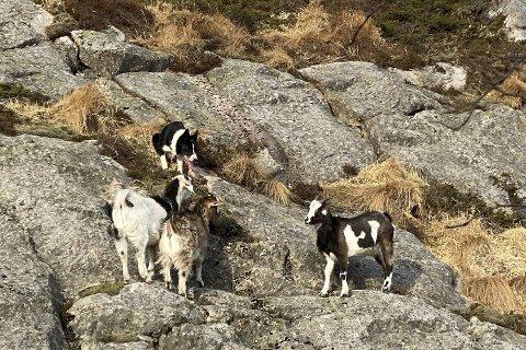 Det måtte en aldri så liten redningaksjon til da tre av de nye Fløygeitene stakk til fjells.