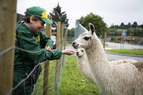 Marit Aalvik Dalen, som bur i Lyderhornslien, synest det er gøy at bufellesskapet no har fått lamaer.