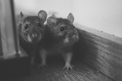 Våkne rotter: – Vi har vel egentlig tenkt at risikoen for å få rotter på ubedt besøk er større for eldre hus, sier «Kåre».