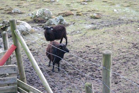 – Det er ikke ideelt å ha lammene gående ute, men de får mat og har ly. Nå blir disse solgt, sier bonden som er ansvarlig for dyreholdet på Vistnestunet.