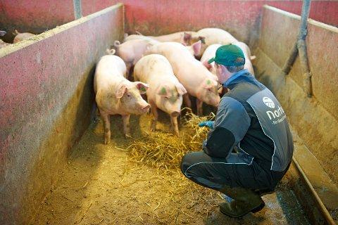 Sammen med kona Inger Lise, driver Anders Schanche Rettedal (på bildet) Klostergarden ved Utstein kloster, hvor de har rundt 600 sau, 25 ammekyr, 1600 slaktegris og 15-30 utegående gris.