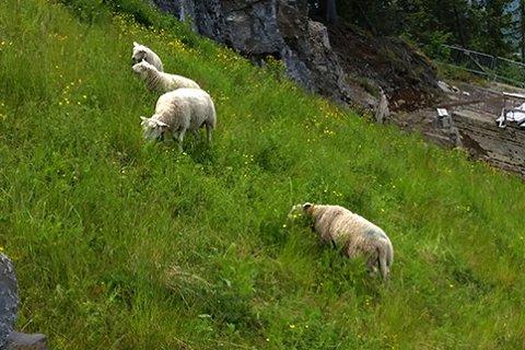 Sau: 2.900 sauer og lam er meldt tapt etter årets beitesesong i Buskerud
