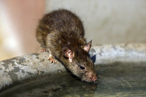 A rat in the Rattentempe Karni Mata Tempell in Deshnok in the Tar desert with Jaisalmer in the province of Rajasthan in west India in India
