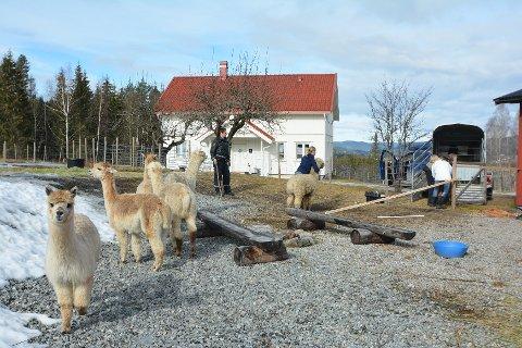 3 AV 9: To av alpakkaene ble påført alvorlige bittskader. En tredje måtte også behandles for mindre skader. I alt er det ni slike dyr på gården.