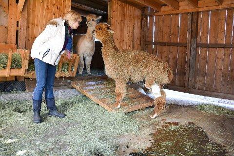 HJEMME: 11 måneder gamle «Ubuntu» er hjemme igjen på Nyfossum etter 22 dager på veterinærhøyskolen. Alpakkaeier Ellen Røhr er ikke videre begeistret over at angrepshundene er tilbake i nabolaget med politiets velsignelse.