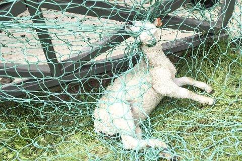 Kvalt: Dette lammet kom seg ikke løs fra nettet på hyttetrammen, og ble trolig kvalt etter å ha viklet seg grundig inn.FOTO: Privat