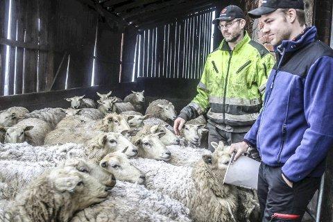 KOS FOR SISTE GANG: Johan Kopland og sønnen Hans Johan Kopland koser med sauene for siste gang mens de venter på slaktebilen. Vemodig. Men de orker ikke å slåss mot rovdyr og myndigheter.