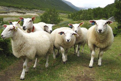 KJØRER SAUENE TIL FJELLS: Flere i vårt distrikt velger å kjøre sauene sine til beiteområder på fjellet.