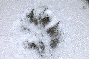 FRA HVEM: Kommer dette fotavtrykket fra ulv eller hund?