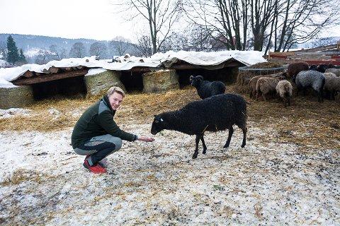DET ER SERVERT: Sauen på Nedre Skinnes prøvesmaker litt skeptisk på «godbiten»  Knut Skinnes serverer. Han har tro på økt bruk av biokull i landbruket som et klimatiltak.
