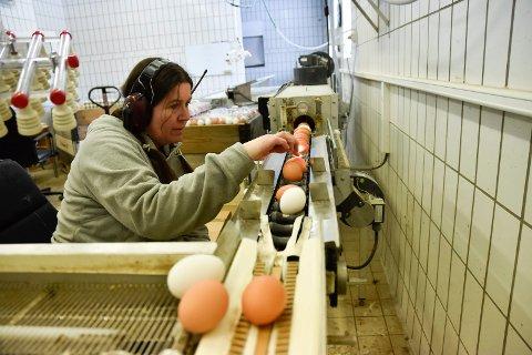 GJENNOMLYSNING: Alle eggene blir gjennomlyst for å se etter om noe er galt. PRODUKTIV: Ei hønelegger over 300 egg i året.