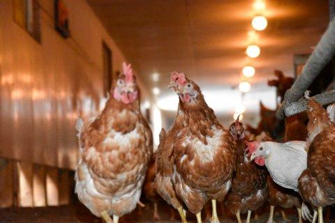 VANEDYR: Hønene er noen skikkelige vanedyr. De legger egg til fast tid hver dag.