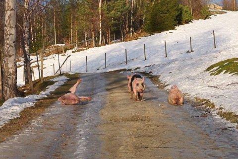 GLATTA: Glade griser på glatta på Olavsbråten. Snart flytter de til Nedre Skinnes.