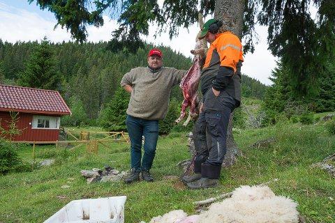 PÅKJØRT: – Det er ingen tvil om at lammet er påkjørt, slår Torgeir Sandnæs (t.v.) og Martin Holth fast. De har flådd lammet og tatt ut innvollene for å se hva slags skader det hadde.