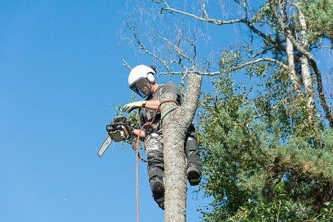 STYKKEVIS: Arboristene klatrer ofte opp i trærne og feller dem stykkevis og delt. Her er Herman i aksjon i en privat hage.