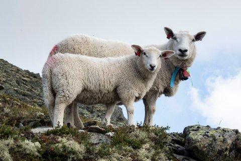 TILTAK MOT ROVVILT: Flere bønder i Modum flytter dyra til fjells for å unngå rovvilttap og får tilskudd til dette av Statsforvalteren.