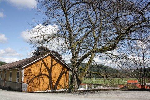 BLEI FORGIFTA: Dette treet blei truleg planta av Johan Feyer. Nå er det daudt.