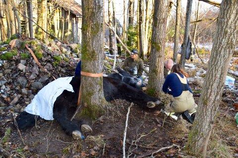 En hest sitter fast mellom to trær på Storsand.