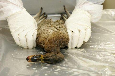 DØDE FUGLER: Ender er blant fuglene som er utsatt for fugleinfluensasmitten som nå kommer fra sentraleuropa.