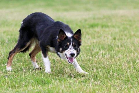 Border collien og gjeterhunden Swix forsvant fra sin eier lørdag ettermiddag.