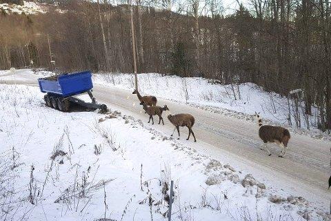 LANGS VEIEN: Disse dyrene ble sett langs veien på Sjåstad fredag.