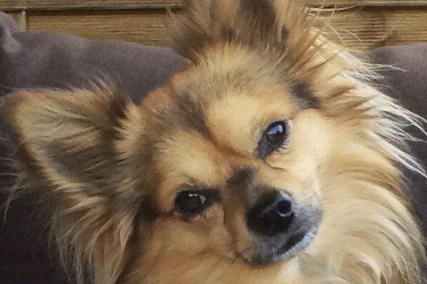 En skikkelig kosehund: Chico (5 1/2) var på kveldstur med matmor Berit Bakkane da en hund plutselig angrep han bakfra. Den lille hunden hadde ingen mulighet og måtte avlives. Foto: Privat