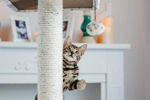 PUS I HUS: Alle katter trenger både mental og fysisk stimulans for å trives. Det er spesielt viktig hvis du har en innekatt som ikke får utløp ved å være utendørs.Det finnes flere måter å aktivisere katten på.