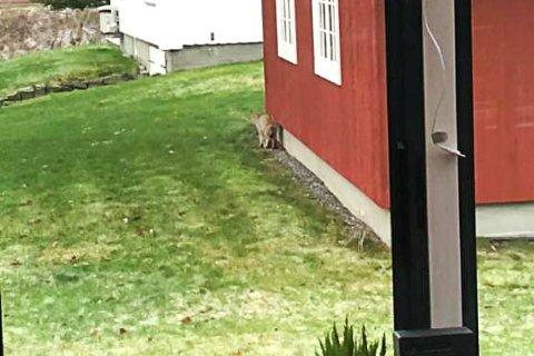 TYDELIG. Det var ingen huskatt, men derimot skogens katt, gaupa, som tuslet langs Vestfosselva i Langebru ved Hokksund.