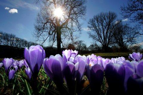 OSLO 20070321: Våren har kommet til Oslo, og onsdag var hele landet regnfritt. I Botanisk hage blomstrer de første levende vårtegnene.  Krokus. Foto: Lise Åserud / SCANPIX .
