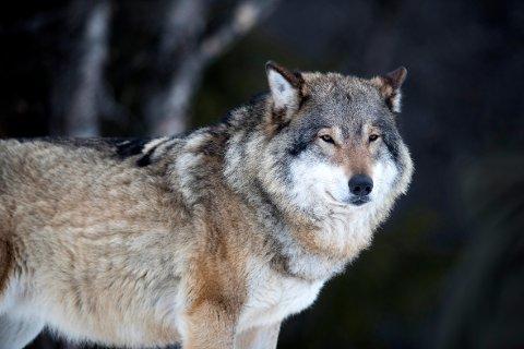 Enebakk kommune har hatt tilsammen en million kroner til konfliktdempende tiltak mot ulv å fordele.