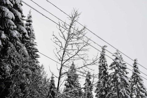 Trærne henger mange og ofte faretruende nærme strømledningene. Nå utvider Norgesnett ryddebeltet langs linjene flere steder.