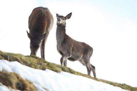 Det er fleire slike som må skytast dersom hjortestamma vår igjen skal auke reint kvalitetsmessig, meiner viltforvaltninga. Torsdag kveld blir det stort hjortemøte i Allhuset i Eikefjord.