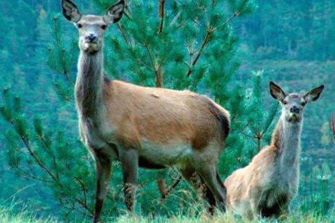 Hjerneprøver viser at ei hjortekolle felt på Gjemnes i Møre og Romsdal var smitta av prionsjukdomen CWD. Her ser du kolle og kalv frå Ålfoten frå nokre år tilbake.