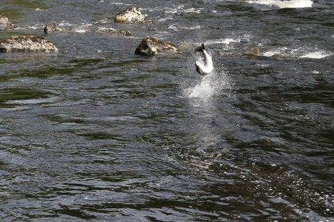 Den store holaksen gjer lange utras, hoppar, og vil ned elva. Fiskaren klarar med naud å neppe å halde fisken i hølen.