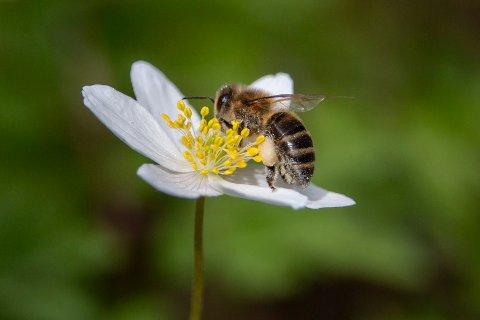 Nittedal 20200506.  En bie samler nektar på hvitveis. Foto: Paul Kleiven / NTB scanpix
