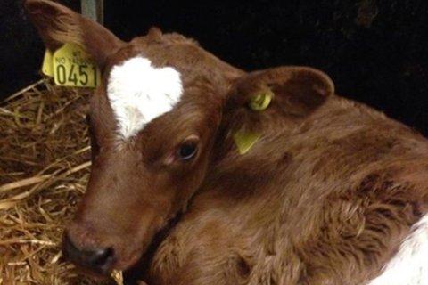 Laurdag kom kalven «Emilie» til verda, og det vart raskt klart at den hadde ein særeigen utsjånad.