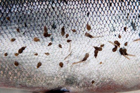 LAKSELUS: I slutten av undersøkingsperioden fann forskarane lakselus på alle fiskane.