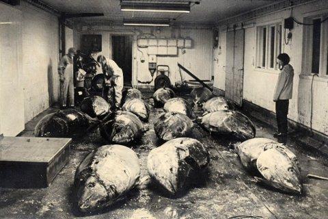 HISTORISK: Makrellstørjefisket var stort for ein generasjon og to sidan. Bildet er teke på Bulandet i 1982.