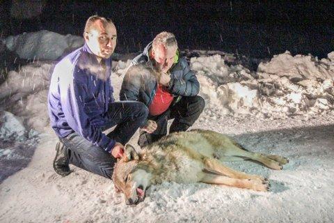 Leiar i jaktlaget i Naustdal, Stein Mortensbakke (t.v.) vil sørge for at ulven ikkje hamnar langt vekke. Her saman med Vidar Heggheim etter fellinga.