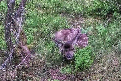 Møter du ein slik nyfødd hjortekalv, så ikkje ta på den. Då kan mora forlate den etterpå.